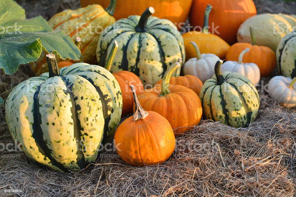 Pumpkins and sqashes harvest stock photo