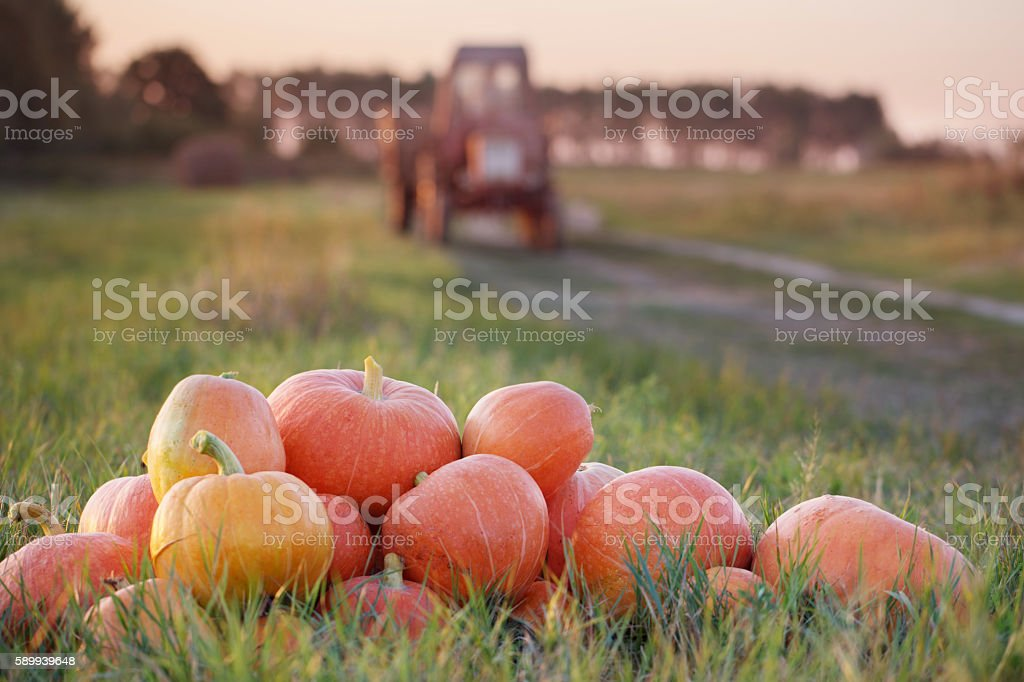 pumpkins and tractor in field stock photo