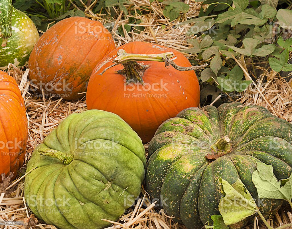 Pumpkins at a pumpkin patch stock photo