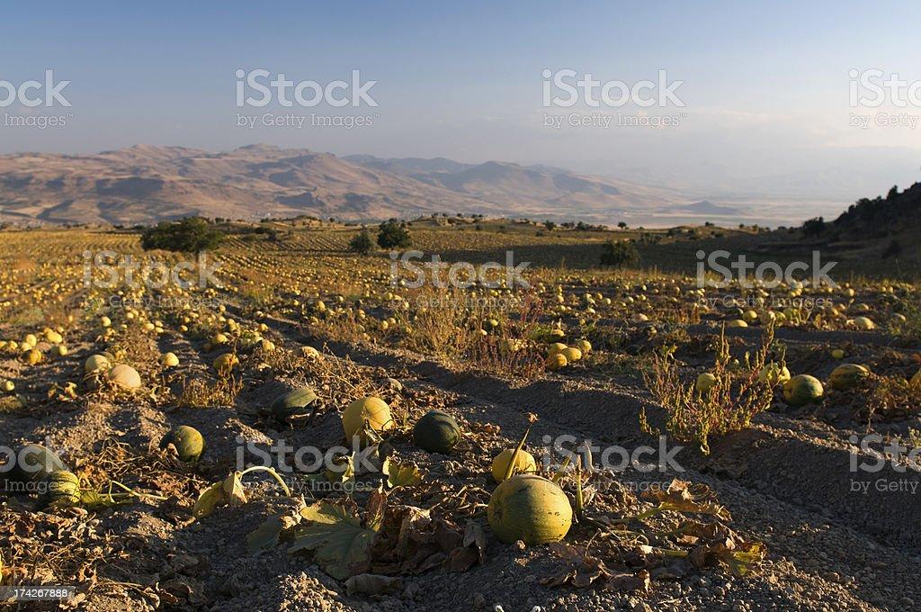 Pumpkins field royalty-free stock photo