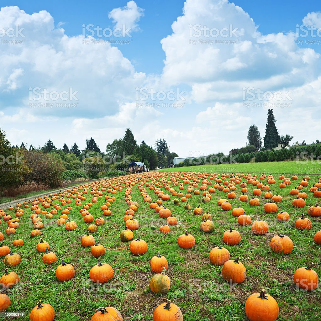 Pumpkins for Picking stock photo