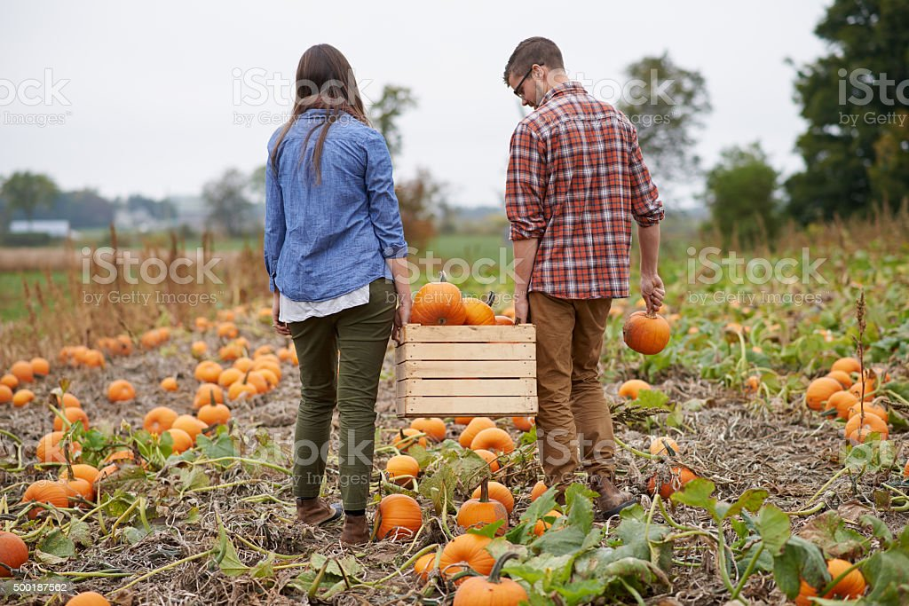 Pumpkins galore stock photo