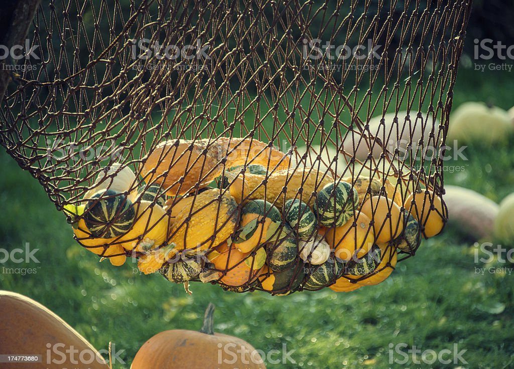 pumpkins in a hammock royalty-free stock photo