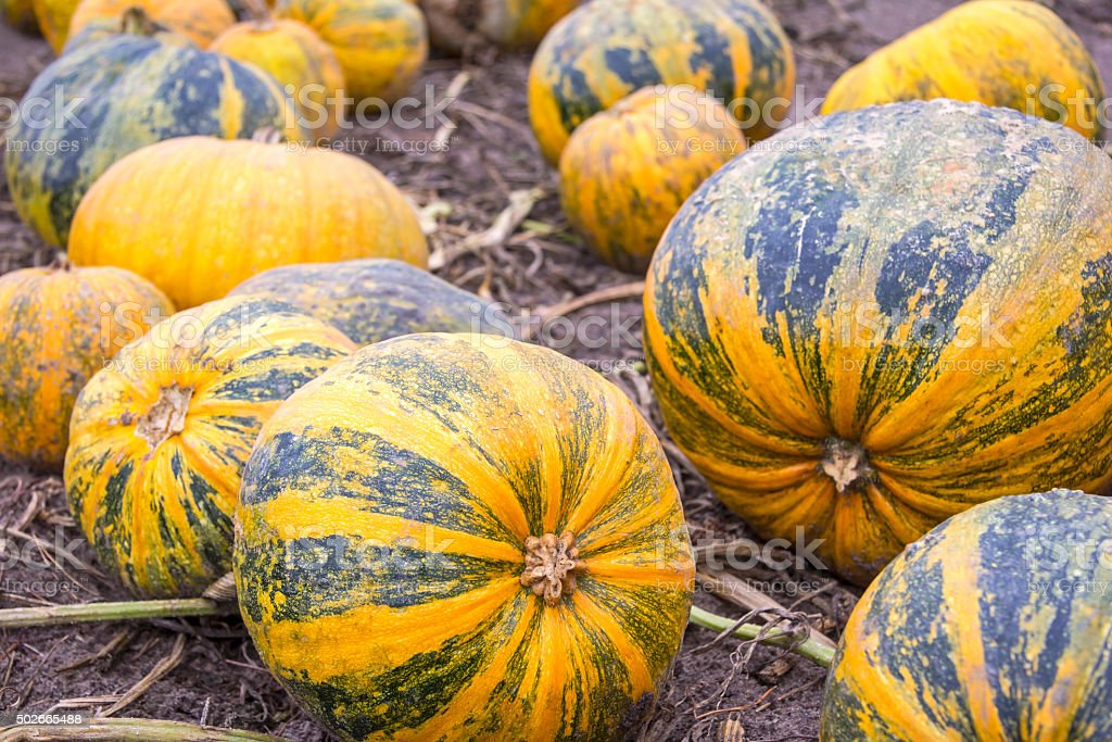 Pumpkins in a row on the field stock photo