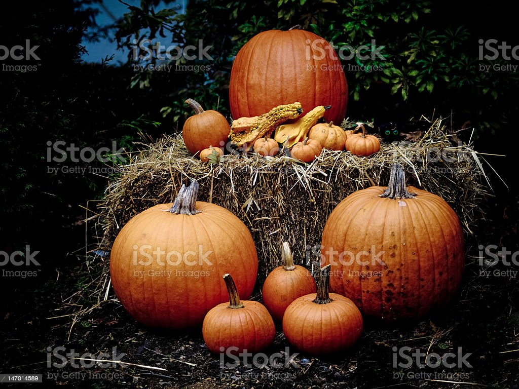 Pumpkins in the Dark stock photo
