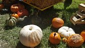 Pumpkins of all shapes and colors