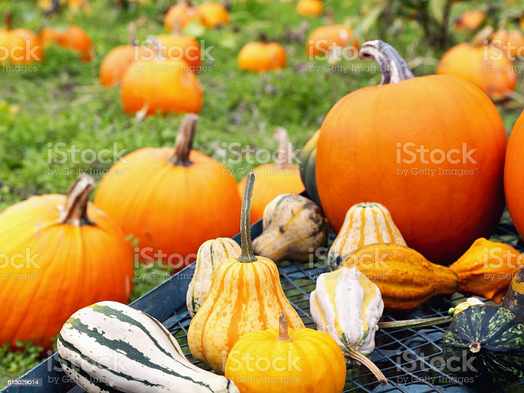 Pumpkins on a cart against field stock photo