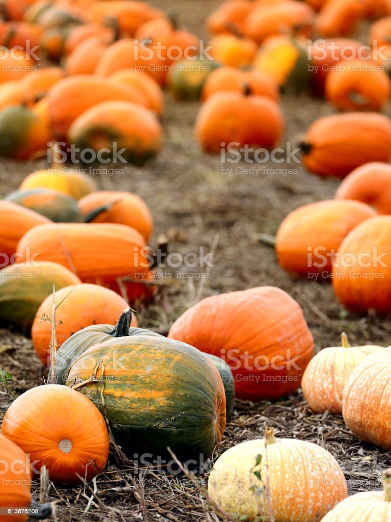Pumpkins on field stock photo