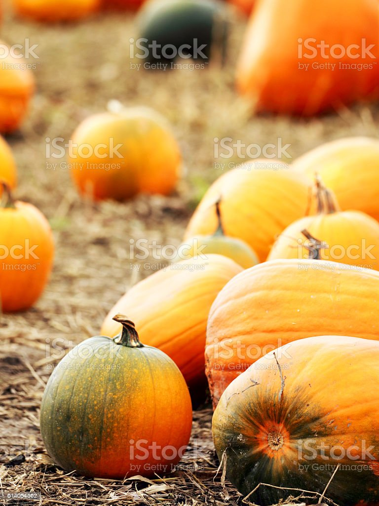 Pumpkins on field stock photo
