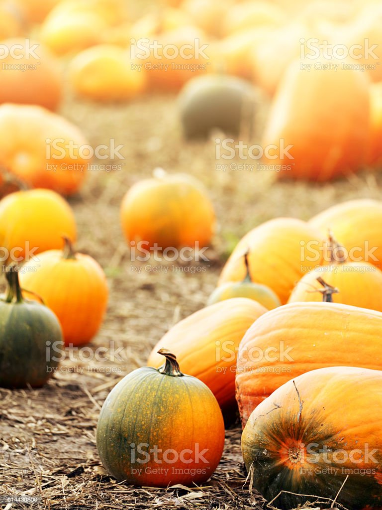 Pumpkins on field with lighting effect stock photo