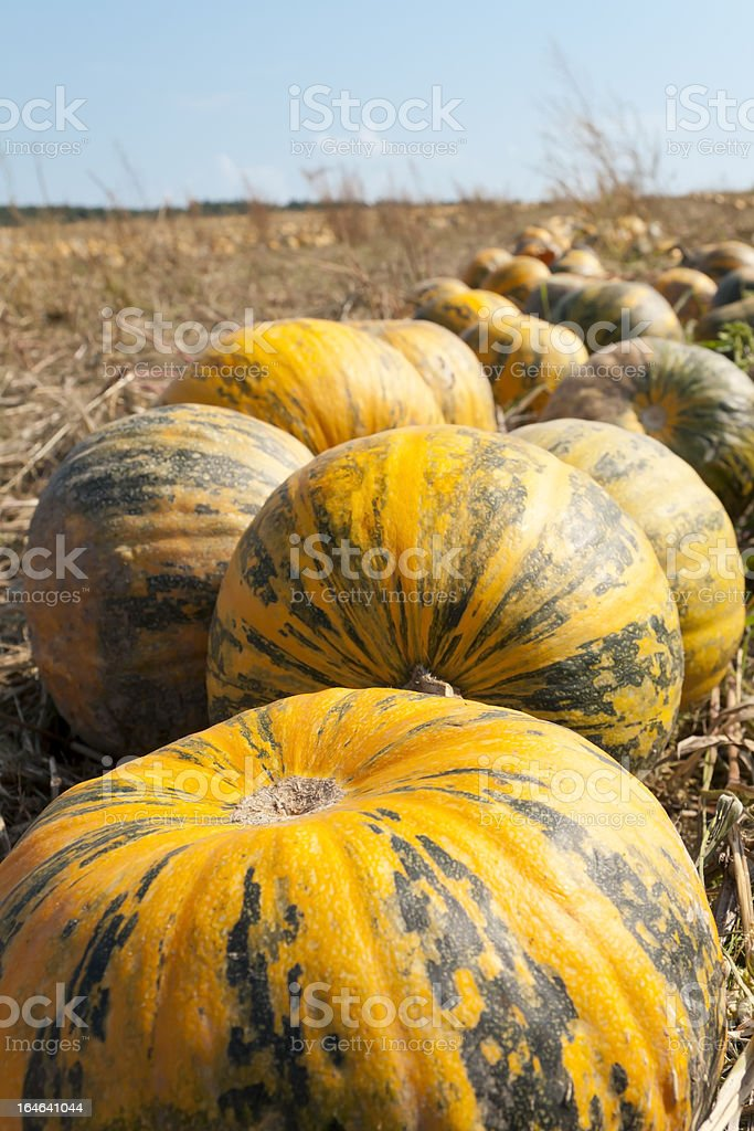 Pumpkins on the Field stock photo