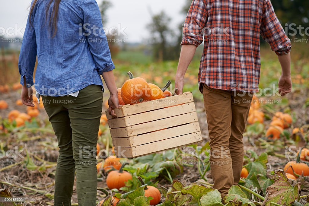 Pumpkins on the grow stock photo
