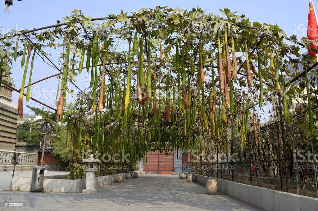 Pumpkins on the trellis, Temple of the Five Pagodas, Hohhot stock photo