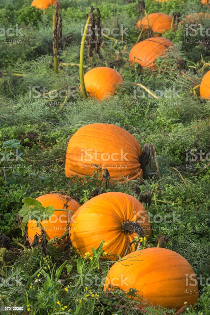 Pumpkins ready for harvest stock photo