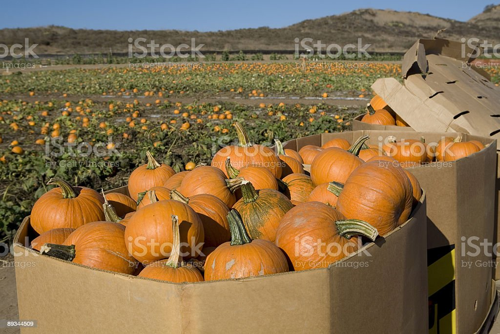 Pumpkins Ready to be Shipped stock photo