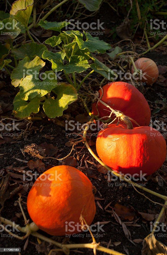 Pumpkins ready to Harvest for Halloween Napa Valley California stock photo
