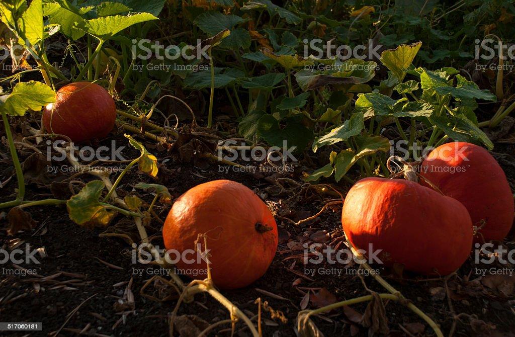 Pumpkins ready to harvest in vegetable Garden Napa Valley California stock photo