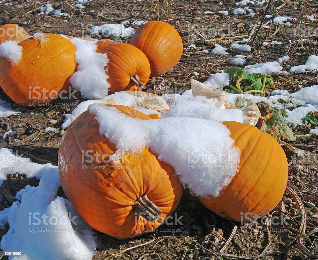 Pumpkins Under Snow royalty-free stock photo