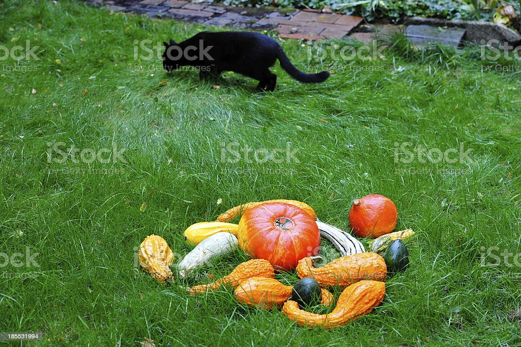 Pumpkins with black Cat  in the grass for Thanksgiving. royalty-free stock photo