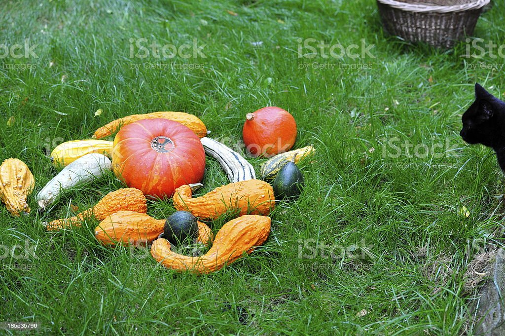 Pumpkins with Cat  in the grass for Thanksgiving. royalty-free stock photo