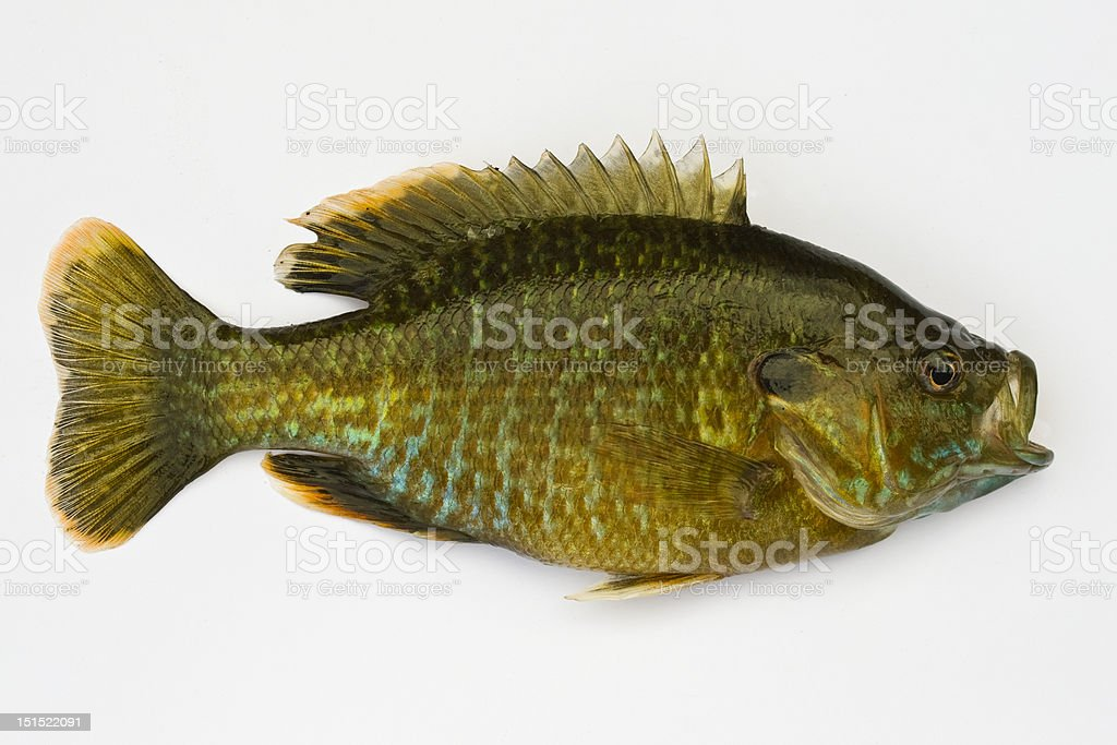 Pumpkinseed Sunfish Isolated stock photo