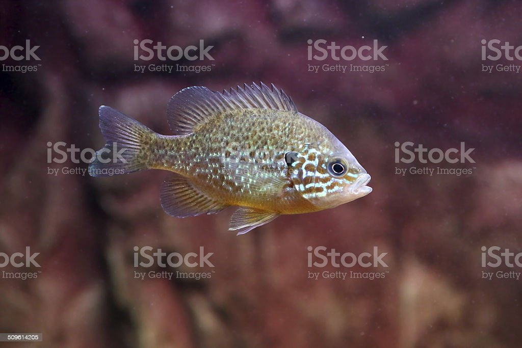 Pumpkinseed sunfish or common sunfish stock photo