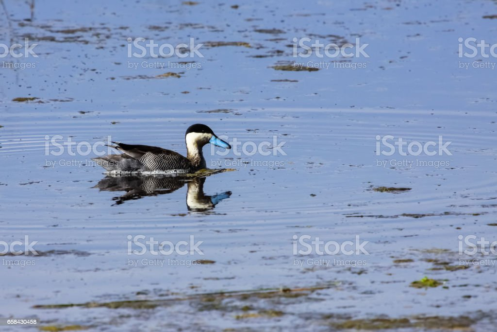 Puna teal reflected in the water on a shallow part of Lake Titicaca stock photo