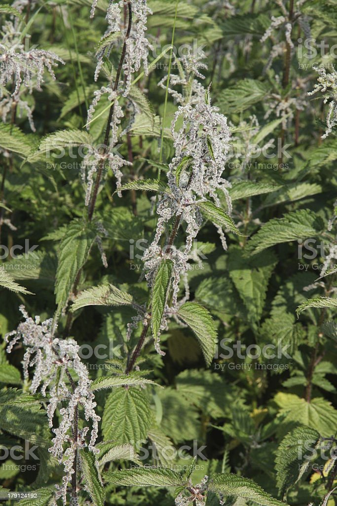 pungent and irritating nettle plants excellent for preparing a t stock photo
