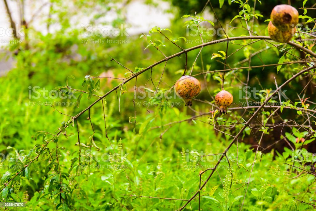 Punica granatum Diseased stock photo