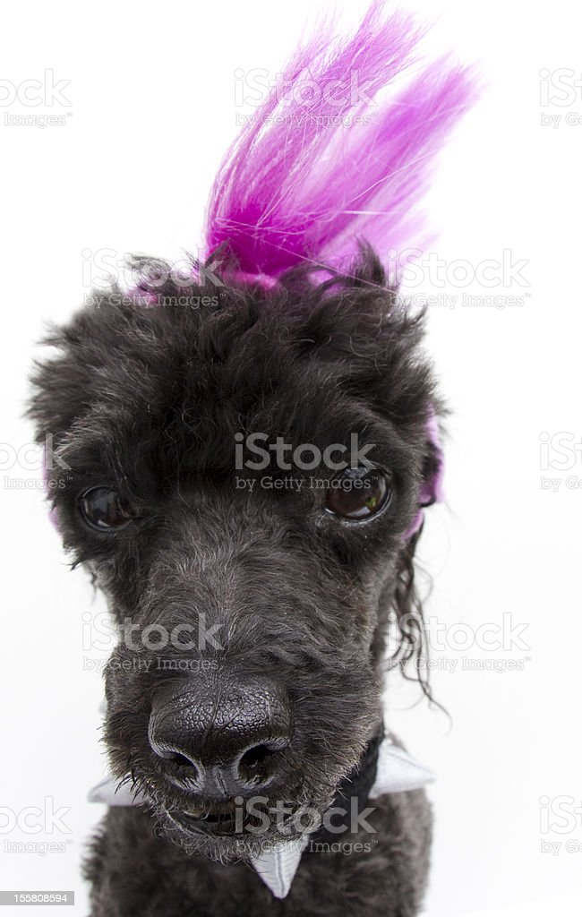 Punk Poodle stock photo