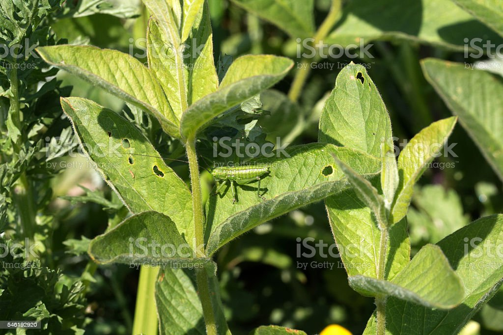 Punktierte Zartschrecke - Speckled bush crickets stock photo