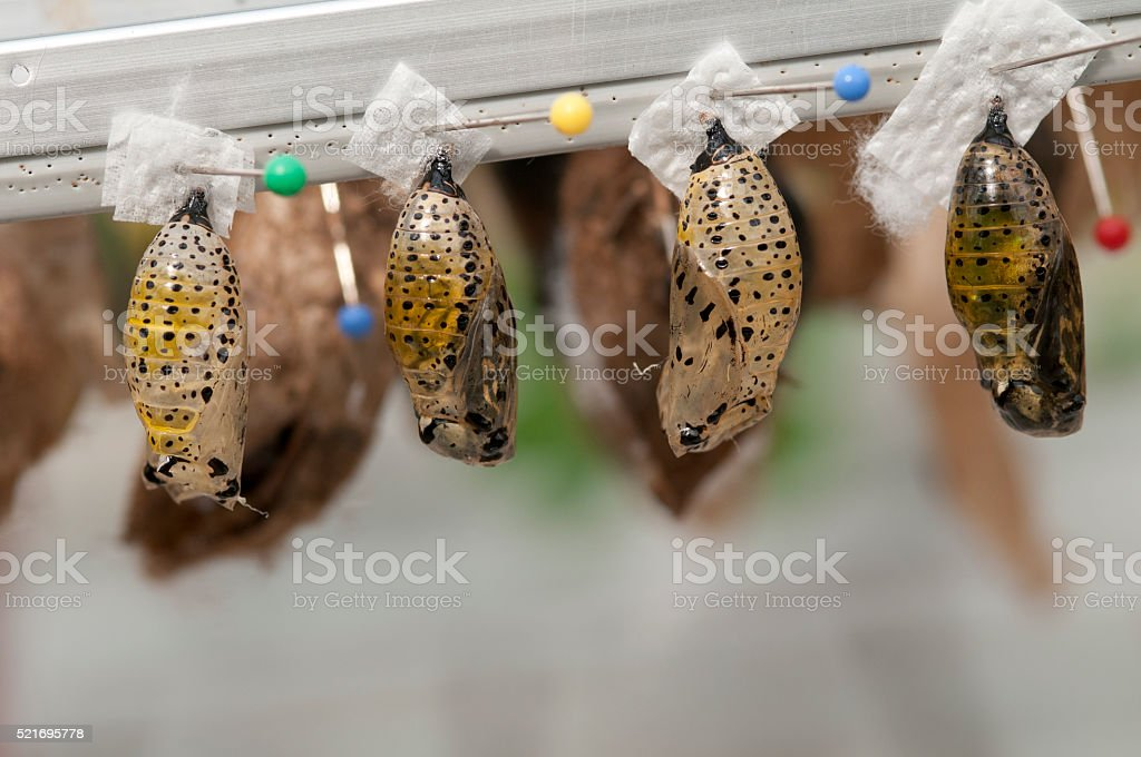pupa from butterflies stock photo