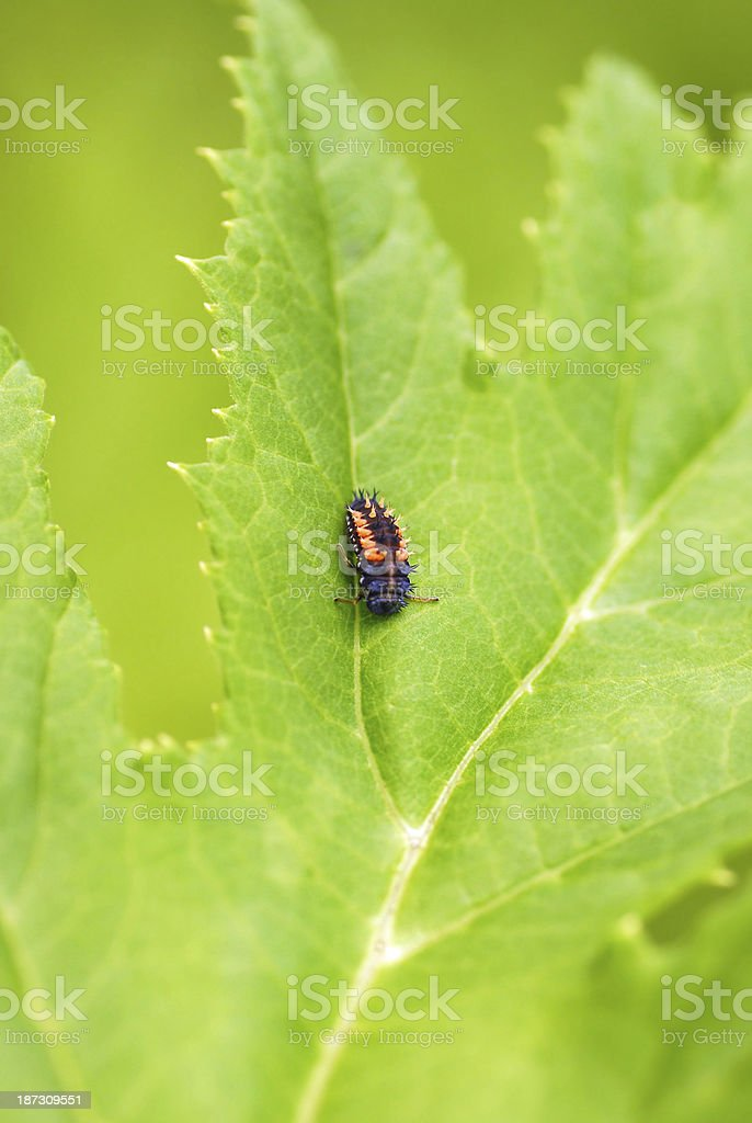 pupal stage of the Ladybug royalty-free stock photo