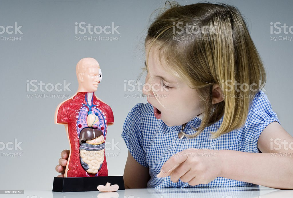 Pupil Looking At Human Anatomy Model stock photo
