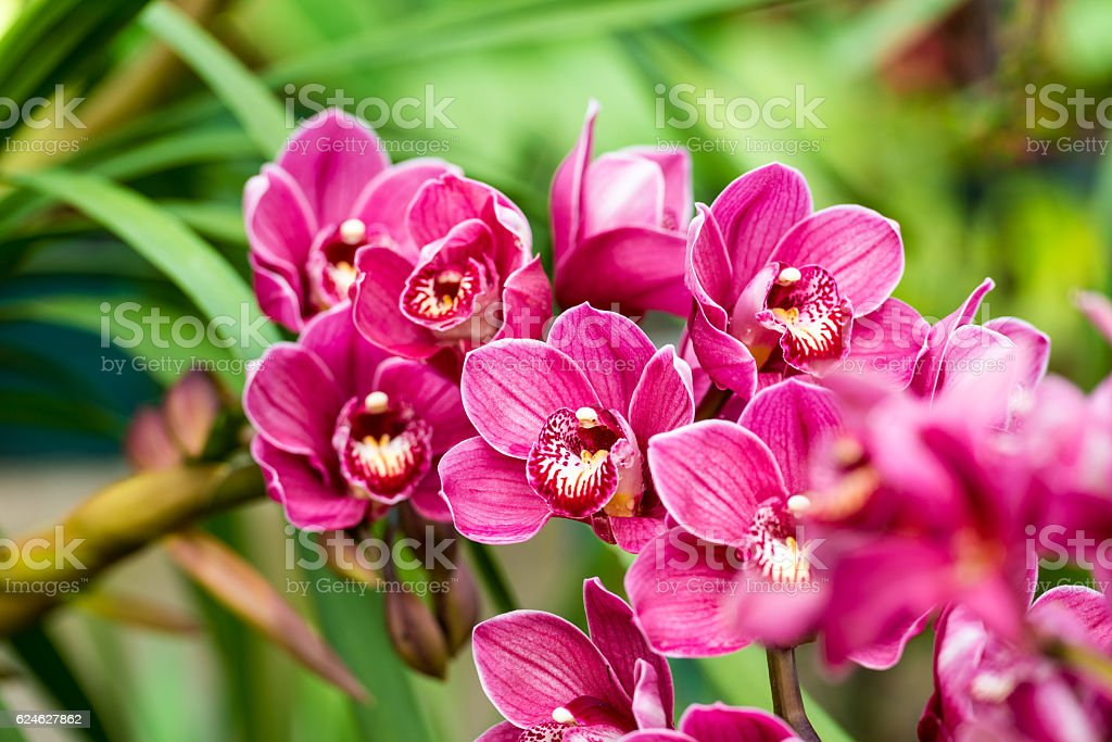 puple cymbidium flower stock photo