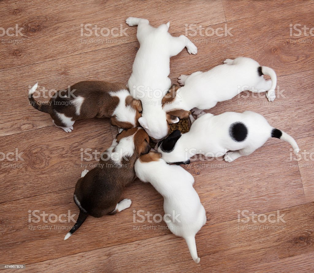 puppies 2 months old, eating from the plate stock photo