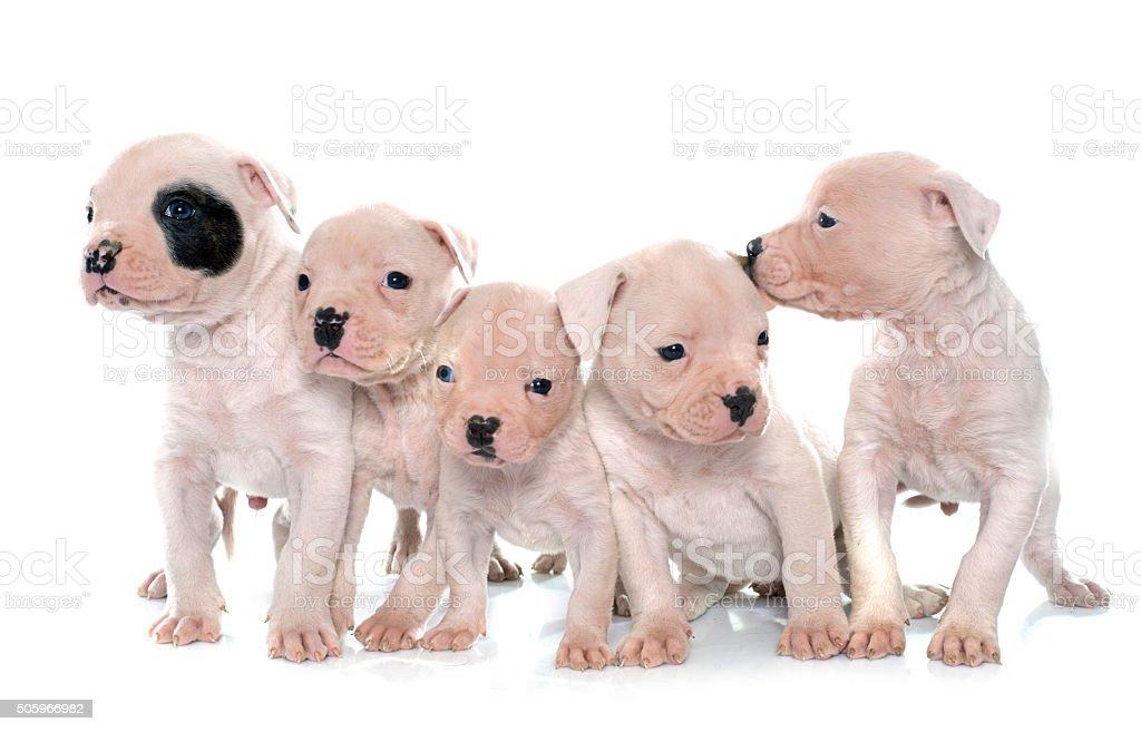 puppies american bulldog stock photo