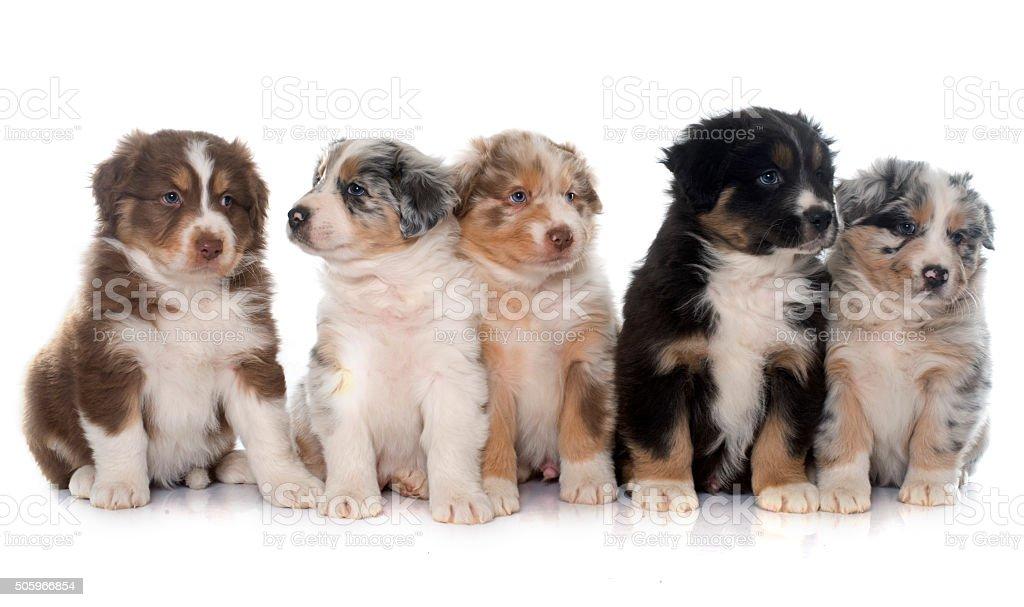 puppies australian shepherd stock photo