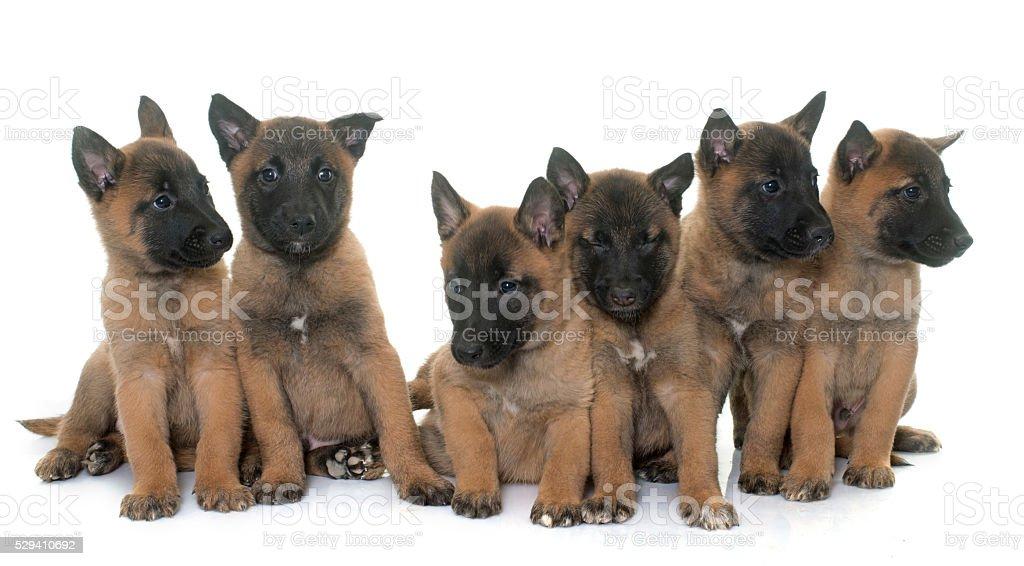 puppies belgian shepherd malinois stock photo