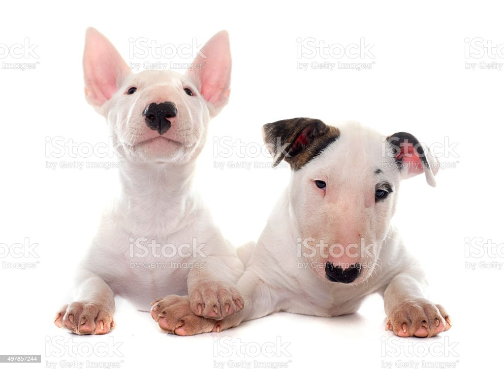 puppies bull terrier stock photo