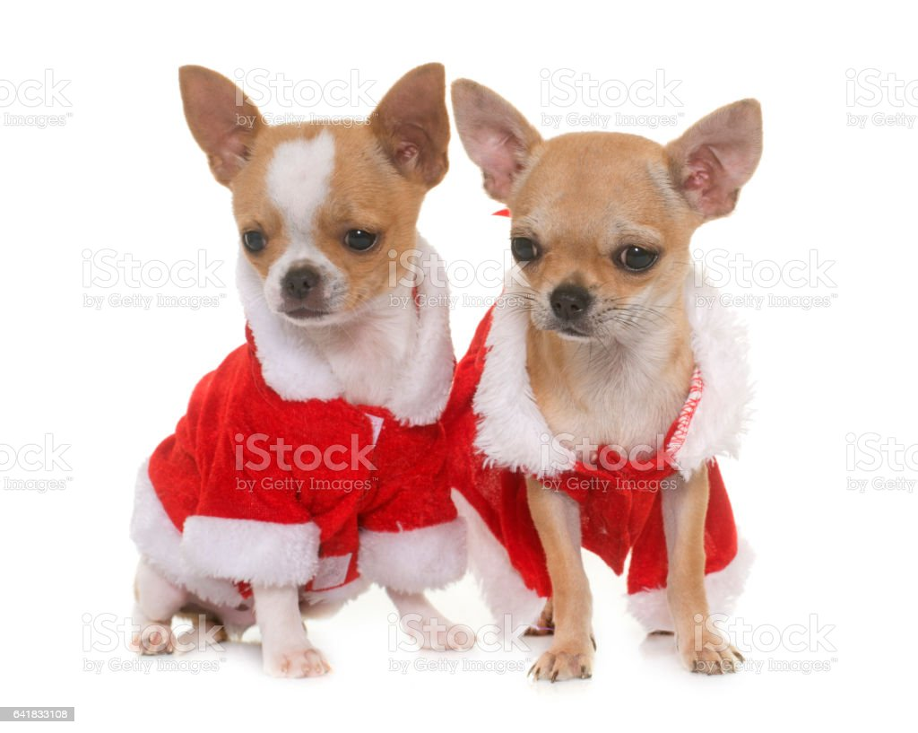 puppies chihuahua and christmas stock photo