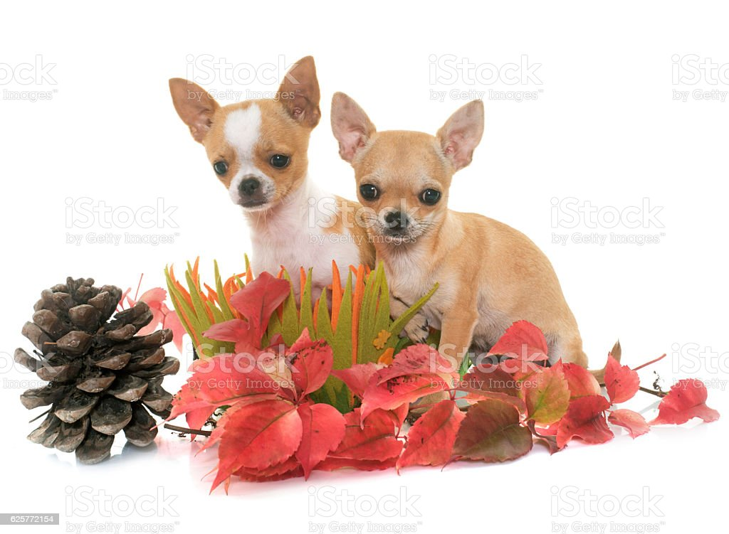 puppies chihuahua in autumn stock photo