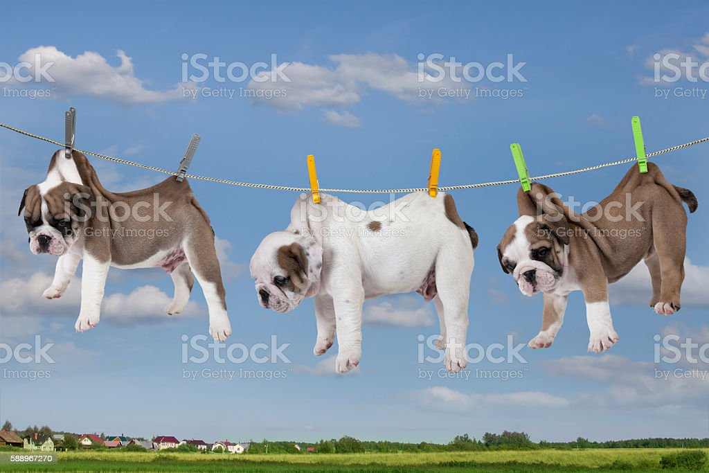 Puppies drying on washing line stock photo