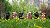 Puppies English and French bulldog