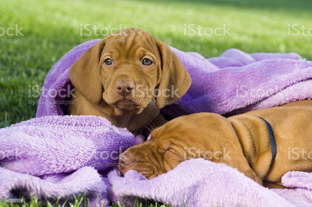 Puppies I. royalty-free stock photo