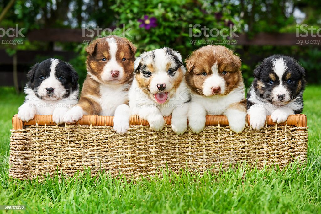 Puppies in a basket stock photo