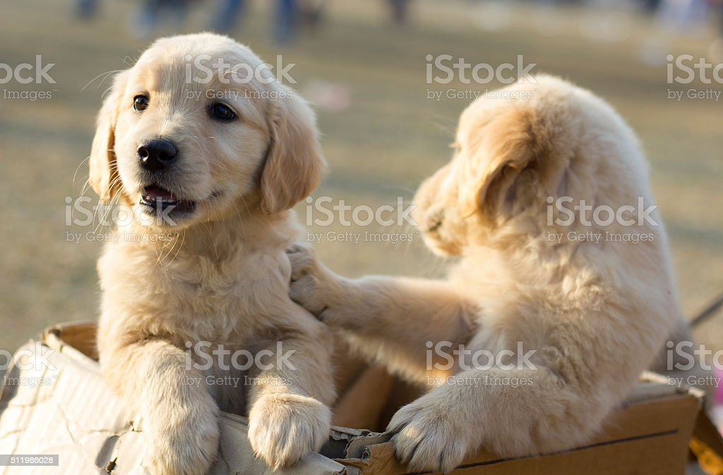 Puppies in a Box stock photo