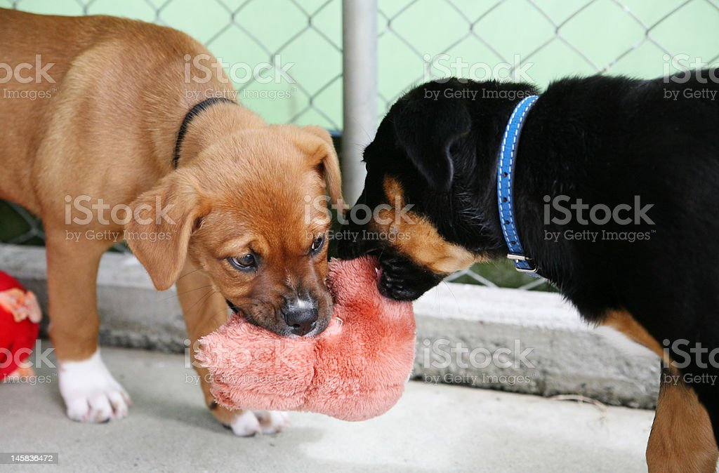 Puppies in a pen playing royalty-free stock photo
