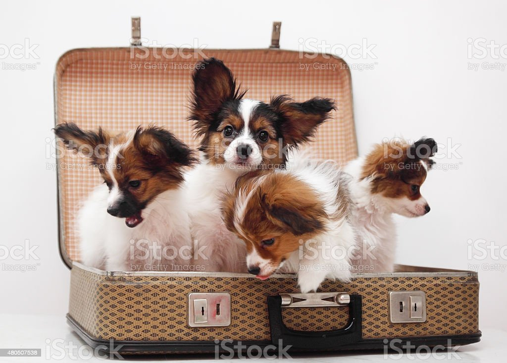 puppies in the suitcase stock photo