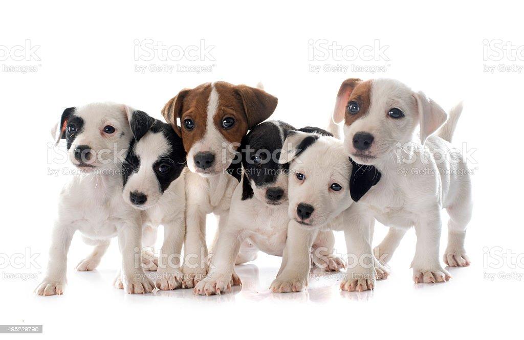 puppies jack russel terrier stock photo